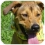 Photo 1 - Labrador Retriever/Vizsla Mix Dog for adoption in Milwaukee, Wisconsin - Sanders