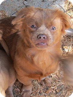 pomeranian rescue oregon kiddy adopted puppy salem or pekingese chihuahua mix 7506