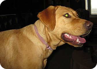 Labrador Retriever Dog for adoption in Prole, Iowa - Maycee