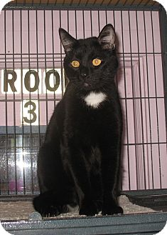Domestic Shorthair Cat for adoption in Shelton, Washington - Tux