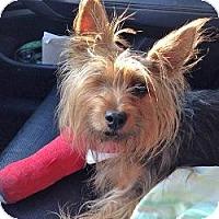 Adopt A Pet :: Annie - Miami, FL