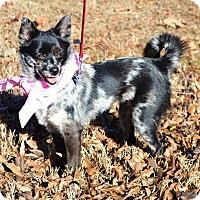 Adopt A Pet :: *Kit - PENDING - Westport, CT