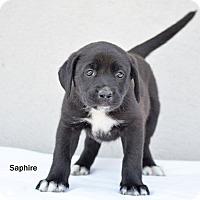 Adopt A Pet :: Sapphire - Old Saybrook, CT