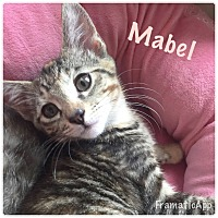 Adopt A Pet :: Mabel - Arlington/Ft Worth, TX