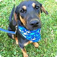 Adopt A Pet :: Remi (RBF) - Washington, DC