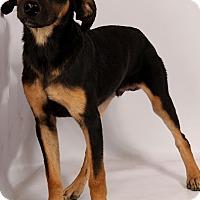 Adopt A Pet :: Charles Lab Aussie - St. Louis, MO
