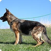 German Shepherd Dog Dog for adoption in Tully, New York - LILLY