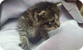 Domestic Shorthair Kitten for adoption in Columbus, Ohio - Lively, Loving Namie