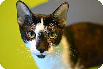 Domestic Shorthair Kitten for adoption in New Orleans, Louisiana - Oreo