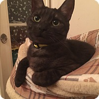 Domestic Shorthair Cat for adoption in Burlington, Ontario - Sweet Marie