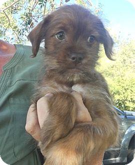 Shih Tzu Dog for adoption in Temecula, California - Ringo