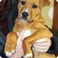 Adopt A Pet :: Oliver - Harrison, NY