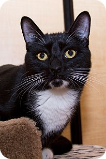 Domestic Shorthair Cat for adoption in Irvine, California - Ricky