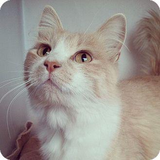 Domestic Mediumhair Cat for adoption in Buena Vista, Colorado - Dorothy