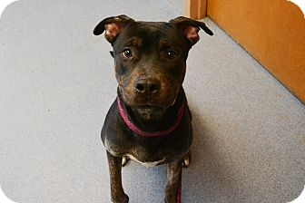 Pit Bull Terrier Mix Dog for adoption in Bay Shore, New York - Shadow