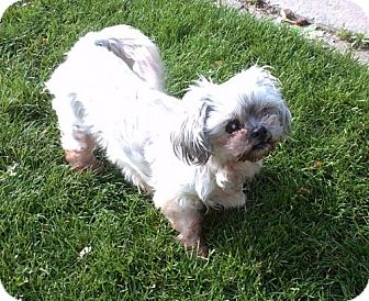 Shih Tzu Dog for adoption in C/S & Denver Metro, Colorado - Lizzie 10 Years