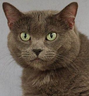 Domestic Shorthair Cat for adoption in Savannah, Missouri - Flannel
