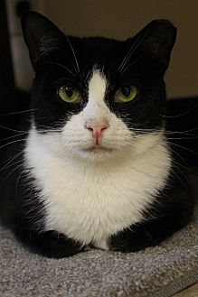 American Shorthair Cat for adoption in levittown, New York - JESSIE