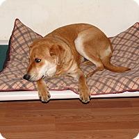 Adopt A Pet :: Goldman (sharp) - Hagerstown, MD