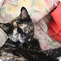 Adopt A Pet :: Boo Boo - Knoxville, TN