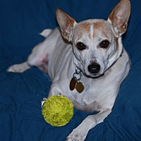 Jack Russell Terrier/Parson Russell Terrier Mix Dog for adoption in San Francisco, California - Trigger