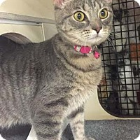Adopt A Pet :: Milky Way - Merrifield, VA