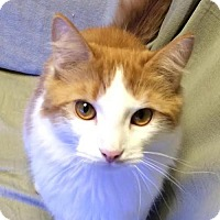 Domestic Shorthair Cat for adoption in Harrisburg, Pennsylvania - Eliott (adult male)