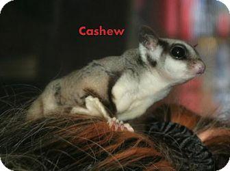 Sugar Glider for adoption in Walker, Louisiana - Cashew
