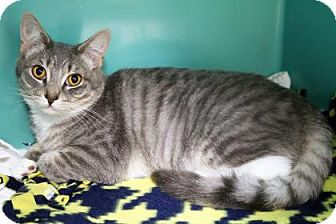 Domestic Shorthair Cat for adoption in Bellevue, Washington - Sissy