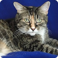 American Shorthair Cat for adoption in Jackson, New Jersey - Robin