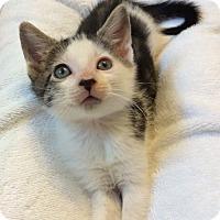 Adopt A Pet :: White & tabby male kitten PPB - Manasquan, NJ