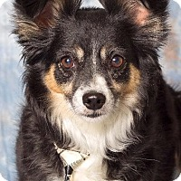 Adopt A Pet :: Sheldor - Gilbert, AZ