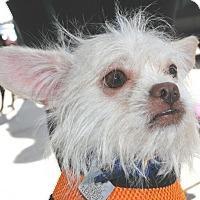 Adopt A Pet :: Boomer - Lansing, MI