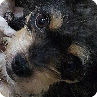Schnauzer (Miniature)/Yorkie, Yorkshire Terrier Mix Dog for adoption in Portland, Oregon - Milly