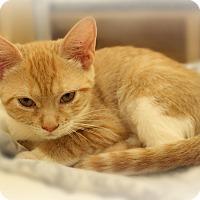 Domestic Shorthair Kitten for adoption in Glen Mills, Pennsylvania - Audrey
