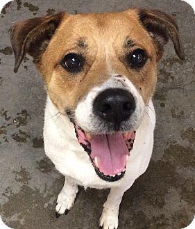 Boxer Mix Dog for adoption in Greensburg, Pennsylvania - Barnie