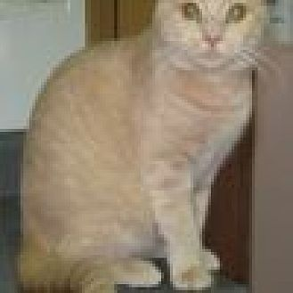 Domestic Shorthair Cat for adoption in Powell, Ohio - Sunkist
