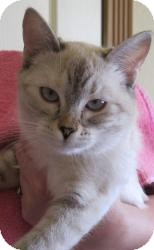 Siamese Cat for adoption in Prescott, Arizona - Bella