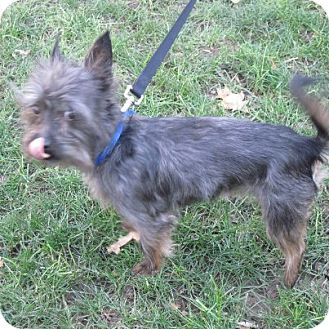 Yorkie, Yorkshire Terrier/Cairn Terrier Mix Dog for adoption in Youngstown, Ohio - Rufus ~ Adoption Pending