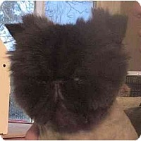 Adopt A Pet :: Chewie - Davis, CA