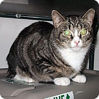 Domestic Shorthair Cat for adoption in Centreville, Virginia - Sadie