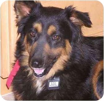Dog Ready For Adoption Shepherd Shetland Sheepdog Sheltie Mixed | Dog ...