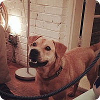 Adopt A Pet :: Cadet - Midlothian, VA