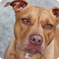 Adopt A Pet :: Honey - Eastpointe, MI