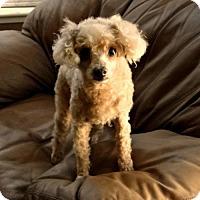 Adopt A Pet :: Gucci - Walnut Creek, CA