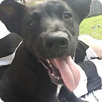Adopt A Pet :: Colt - Austin, TX