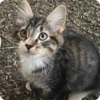 Adopt A Pet :: Nikolai - Mount Laurel, NJ