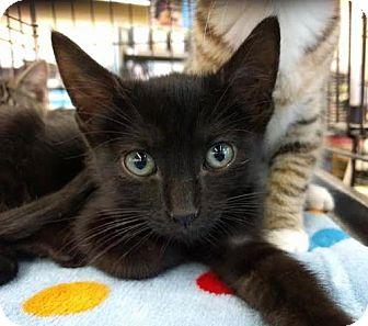 Bombay Kitten for adoption in Maryville, Tennessee - Casper