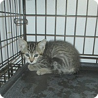 Domestic Shorthair Kitten for adoption in New Smyrna Beach, Florida - Louie