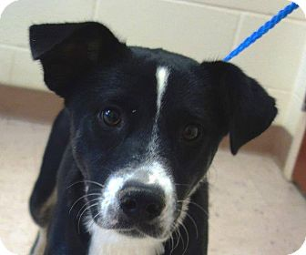 Border Collie Mix Dog for adoption in McDonough, Georgia - Myrtle